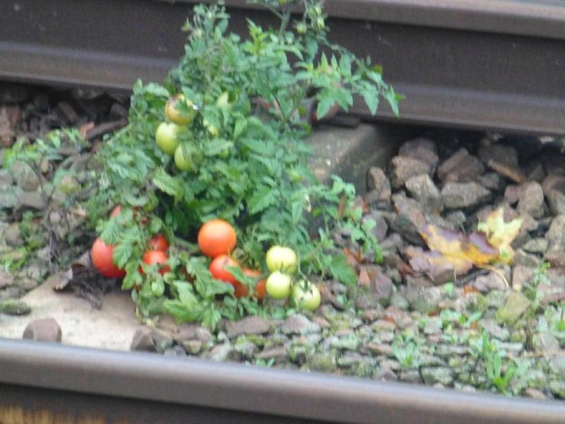 RMT responds to pictures of tomatoes growing in excrement